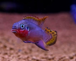 PELVICACHROMIS TAENIATUS NIGERIA RED - Click for more info