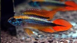 APISTOGRAMMA AGASSIZI DOUBLE RED - Click for more info