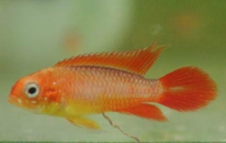 APISTOGRAMMA AGASSIZI GOLD FIRE RED - Click for more info
