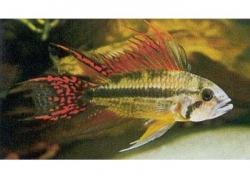 APISTOGRAMMA CACATUOIDES (WILD) - Click for more info