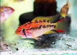 APISTOGRAMMA MACMASTERI SUPER RED - Click for more info