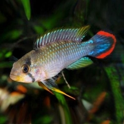 APISTOGRAMMA PANDURO - Click for more info