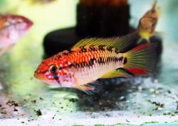 APISTOGRAMMA VIEJITA - RED NECK - Click for more info