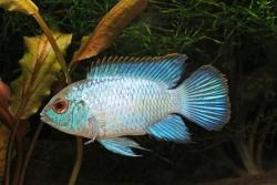 NEON BLUE ACARA - Click for more info