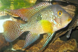 GEOPHAGUS BRAZILIENSIS - Click for more info