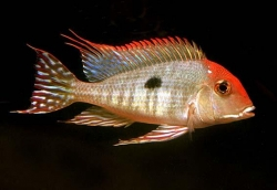 GEOPHAGUS TAPAJOS - Click for more info