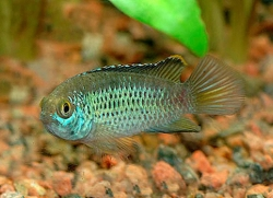GOLDEN DWARF CICHLID G BR - Click for more info
