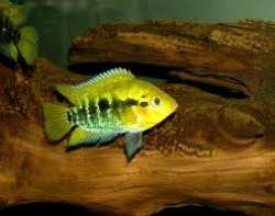 RAINBOW CICHLID - Click for more info