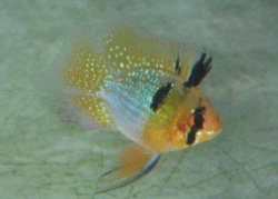 BALLOON BLUE RAM - Click for more info