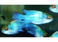 NEON BLUE RAM - Click for more info