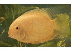 GOLD SEVERUM - Click for more info
