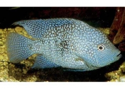 TEXAS CICHLID (H. CARPINTIS) - Click for more info