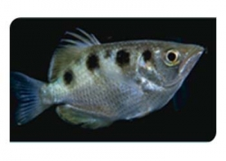 ARCHER FISH (BRACKISH) - Click for more info