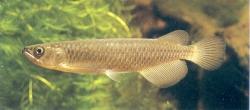 QLD SARATOGA - LEICHARDTI - Click for more info