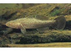 SLEEPY COD - Click for more info
