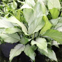 SPATHIPHYLLUM WHITE MIST LARGE - Click for more info