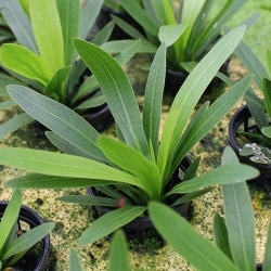 ECHINODORUS URUGUAYENSIS POTTED - Click for more info