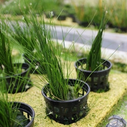 HAIRGRASS POTTED - Click for more info