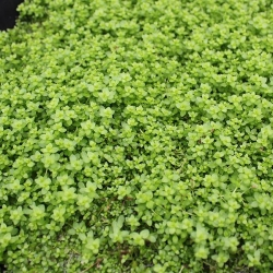 HEMIANTHUS CUBA POT - Click for more info