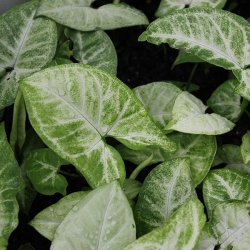 WHITE BUTTERFLY SYNGONIUM POTTED - Click for more info
