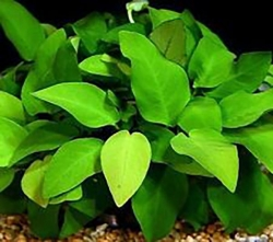 ANUBIAS AFZELII BARE ROOT - Click for more info
