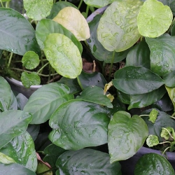ANUBIAS BARTERI BARE ROOT - Click for more info