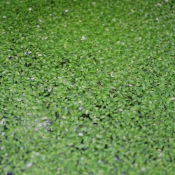 DUCKWEED (BAG) - Click for more info