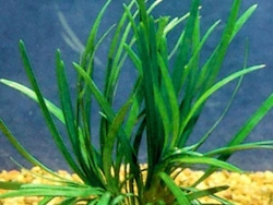DWARF PONGOL BARE ROOT - Click for more info