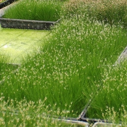 HAIRGRASS BARE ROOT - Click for more info