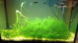 JAVA MOSS (BAG) - Click for more info