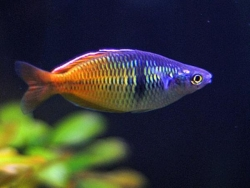BOESEMAN'S RAINBOW - Click for more info