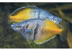 BOESEMAN'S RAINBOW (MALE) - Click for more info