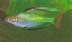 MURRAY RIVER RAINBOW - Click for more info