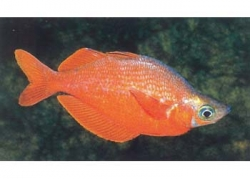MALE RED RAINBOW - Click for more info