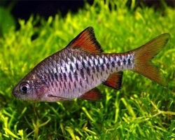 CHECKER BARB - Click for more info