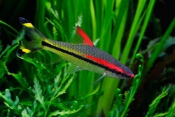 RED LINE TORPEDO BARB - Click for more info