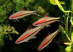 RED LINE TORPEDO BARB - Click for more info