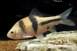 SPANNER BARB - Click for more info