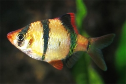 ASSORTED TIGER BARB - Click for more info