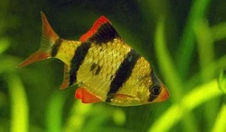 TIGER BARB - Click for more info