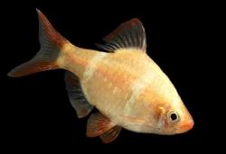 GOLDEN TIGER BARB - Click for more info