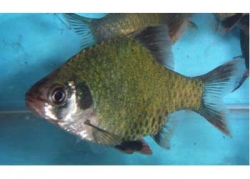 MOSS GREEN TIGER BARB - Click for more info
