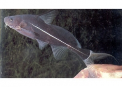 BLACK LANCER CATFISH - Click for more info