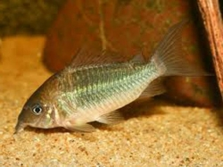 EMERALD CATFISH (BROCHIS SPLENDENS) - Click for more info