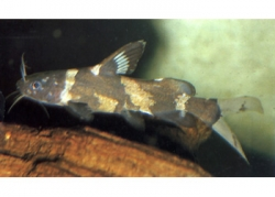 BUMBLE BEE CATFISH - Click for more info