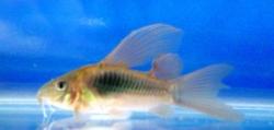 LONGFIN BRONZE CORYDORAS - Click for more info
