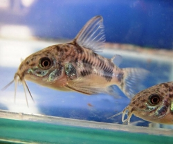 PEPPERED CORYDORAS - Click for more info