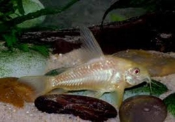 ALBINO PEPPERED CORYDORAS - Click for more info