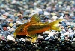 CORYDORAS AENEUS PERU GOLD - Click for more info