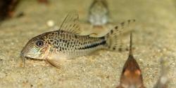 CORYDORAS SP C115 - Click for more info